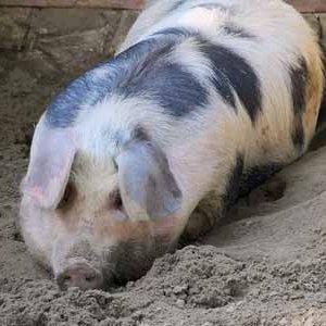 Porc demi-gros